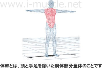 体幹とは、頭と手足を除いた胴体部分全体のことです