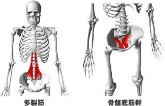 多裂筋と骨盤底筋群