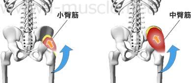 中臀筋・小臀筋の構造と働き