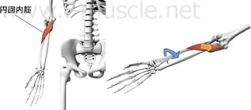 円回内筋の構造と働き