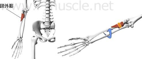 回外筋の構造と働き
