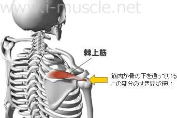 棘上筋と肩関節の構造
