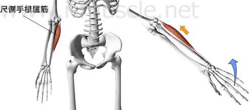 尺側手根屈筋の構造と働き