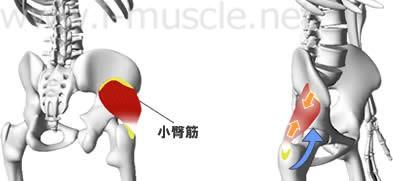 小臀筋の構造と働き