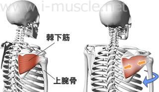 棘下筋の構造と働き
