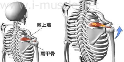 棘上筋の構造と働き